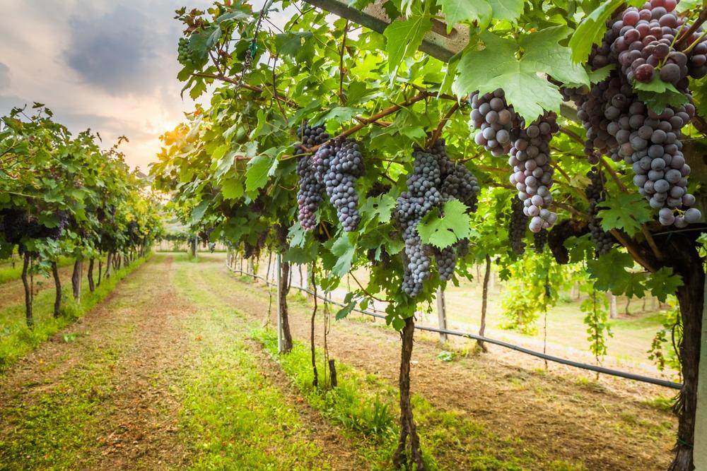 La Strada del vino e dell'Olio del Chianti classico: il vino